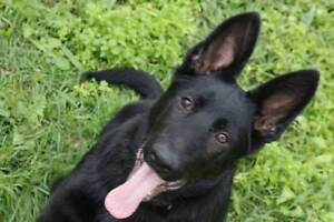 Outstanding Working Line German Shepherd Pups Forest Lake Brisbane South West Preview