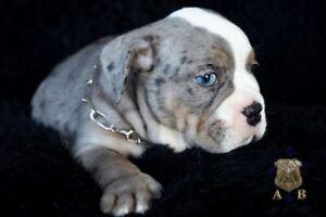 Merle & Standard Aussie Bulldog pups