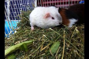 Baby guinea pigs for sale. Beaudesert Ipswich South Preview