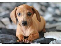 Dachshund boy puppies for sale