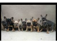 ** Beautiful French Bulldog puppies For Sale***
