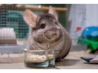 Friendly 3-Year-Old Chinchilla Looking for Home