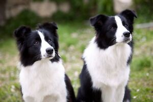 Wanted to buy; Border collie Gympie Gympie Area Preview
