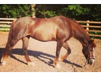 Lovely 14.2 mare for full or part loan
