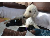 KC Registered Bedlington Terrier Pups