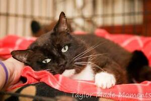 AC0336 : Jabba - CAT for ADOPTION - Vet Work Included Helena Valley Mundaring Area Preview