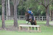 16.3hh, Bay, thoroughbred gelding For Sale Maudsland Gold Coast West Preview