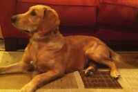 6 Month Old Male Golden Retriever For Sale
