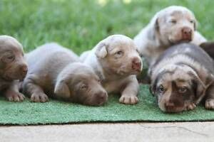 Stunning Koolie Puppies Kellyville Ridge Blacktown Area Preview