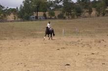 Brown Tb mare for sale Scone Upper Hunter Preview
