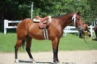Horse for Part-Board/Lease - 6 yo QH Gelding - Hunter/Jumper
