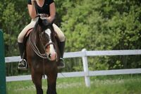 Fancy Gelding Available for Part-Board or Lease