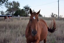 Pretty Mare 15.1hh Nobby Toowoomba Surrounds Preview