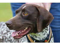 Beautiful short haired German Pointer - Amber