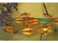 Clown Loach. Tropical Fish Wirral.