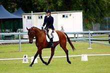 REDUCED SHOWJUMPER GELDING for lease or sale!! Brinsmead Cairns City Preview