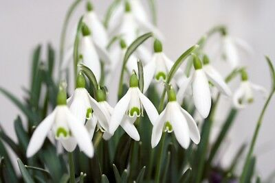 Große Schnee (20 Stück Schneeglöckchen Zwiebeln Galanthus schöne grosse Zwiebeln)