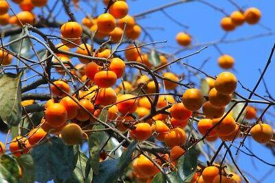 Fruit Tree Orchard - 30 Persimmon Fruit Tree Seeds Diospyros Kaki Home Orchard Garden Plant Trees