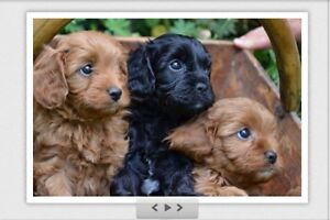 Wanted Cocker Spaniel puppy Armadale Armadale Area Preview