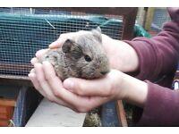 Lovely baby guinea pigs