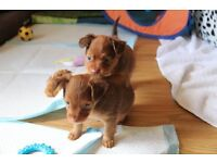 Russian toy long haired puppy for sale male small toy breed