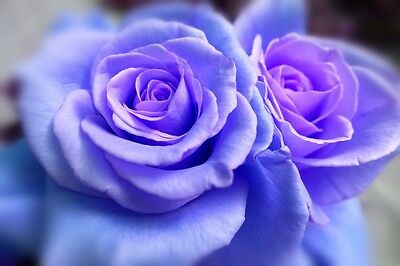 5 Blue Climbing Rose Rosa Bush Vine Climber Fragrant Butterfly Flower Seeds