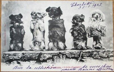 Dogs Standing on Hind Legs 1902 Bergeret Postcard - French Fantasy - Unused