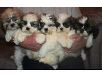 Adorable Zuchon babies all colours Males & Females