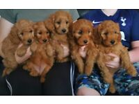 Red Cockapoo Pups