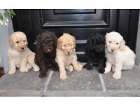 Only 1 remaining! Beautiful Labradoodle Puppies