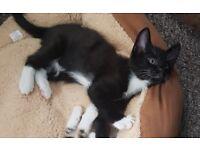 Black and whute kitten