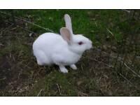 Female Rex rabbit