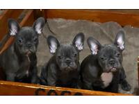 Last 2 females Blue French Bulldogs Puppies