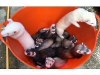 Small Baby Ferrets/Polecats