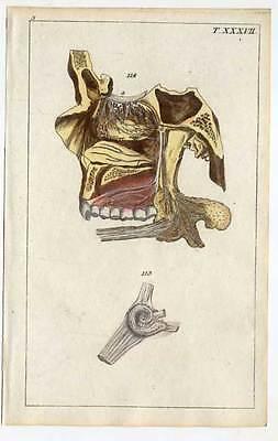 Anatomie - Medizin alltkolorierter  Kupferstich 1800
