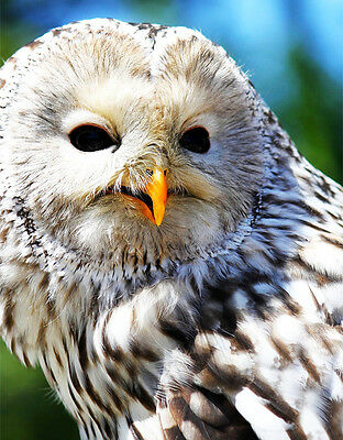 Ural Owl 2 - Cross Stitch Chart