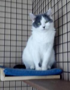 "Young Female Cat - Domestic Medium Hair: ""Chrissy"""