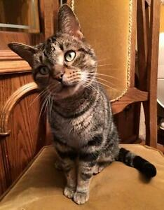 "Adult Male Cat - Tabby - Grey: ""Chunky"""