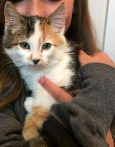 "Baby Female Cat - Domestic Medium Hair: ""Captain Morgan"""