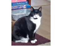 Lost black and white cat, microchipped and neutered. Answers to Ninja