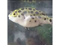 Puffer fish green spotted