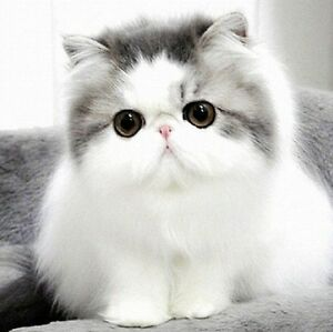 Looking for a Persian, Chinchilla or Himalayan cat