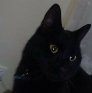 Wanted: This is my male black cat midnight
