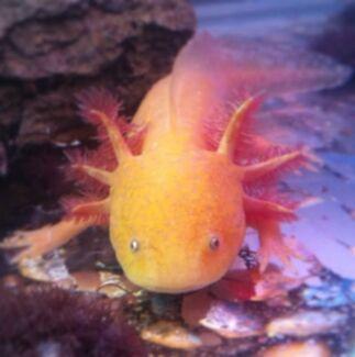 Adult Axolotl Doreen Nillumbik Area Preview