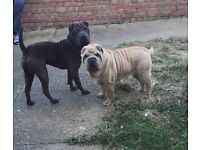 Female shar pei *still available*