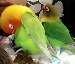 Lovebird semi tame Adelaide CBD Adelaide City Preview