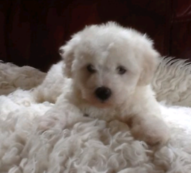 Puppies in Northern Ireland   Dogs & Puppies for Sale - Gumtree