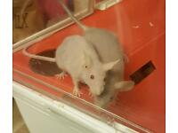 Baby hairless fuzzy mice black and red eyes available