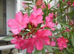 Fuchsia Pink Oleander Live Bush Plant Potted 8-12 Inches Tropical Shrub Free SH