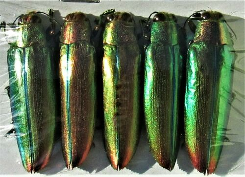 Lot of 25 Pretty Jewel Beetle Chrysochroa aurora Great For Jewelry FAST FROM USA